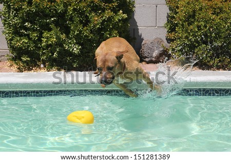 Pitbull jumping from the side of the pool