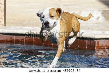 Pitbull jumping from the side of the pool into the water