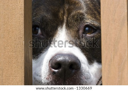 Pitbull looking through fence