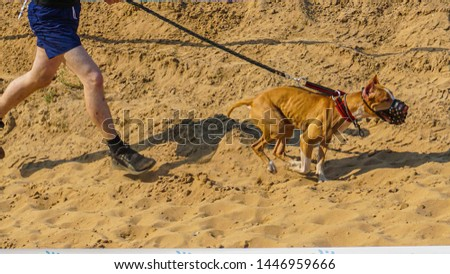 Pitbull muzzled runs ahead of the host. In some countries, the animal of this breed is regarded as edged weapons