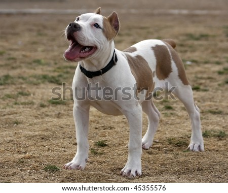 Free Pitbull Puppies on Pitbull Puppy Stock Photo 45355576   Shutterstock
