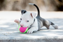 Pitbull Puppy dog playing with a ball