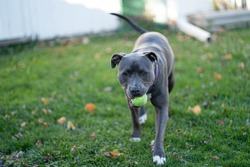 pitbull puppy is waiting to play fetch with a tennis ball