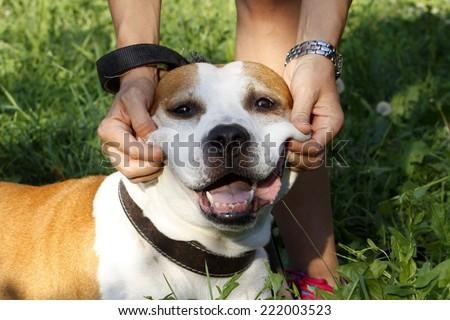 Pitbull - Staffordshire terrier smiling dog