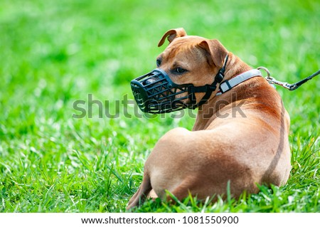 pitbull terrier in muzzle on a...