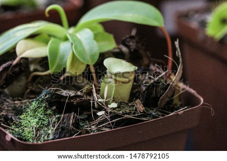 Pitcher plant carnivorous plant potted