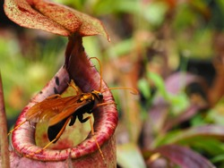 Pitcher Plant in Thailand