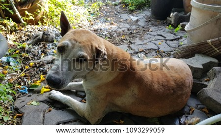 pity dog with Folding ear and aural hematoma disease for old pet living in garden house on concrete block floor  #1093299059