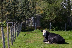 Placid looking black baldy breed cow resting in the sun in a country field, St. Raymond, Quebec, Canada