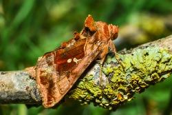 Plain Golden Y Moth (Autographa jota)