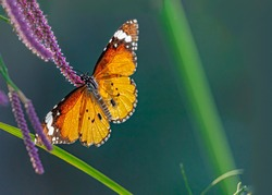 Plain Tiger Butterfly in Back Light on a flower