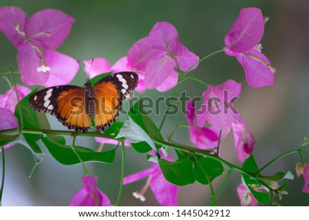 Plain Tiger  butterfly sitting on the bougainvillea flower plant with a nice soft background in its natural habitat