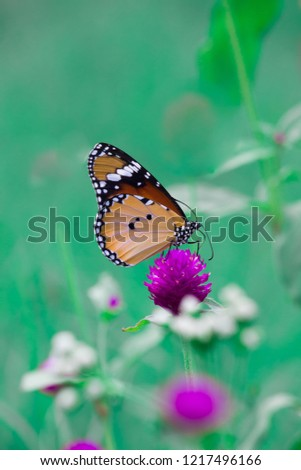 Plain Tiger  butterfly sitting on the flower plant with a nice soft background in its natural habitat