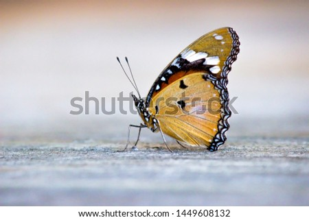 Plain Tiger  butterfly sitting on the ground with a nice soft background in its natural habitat