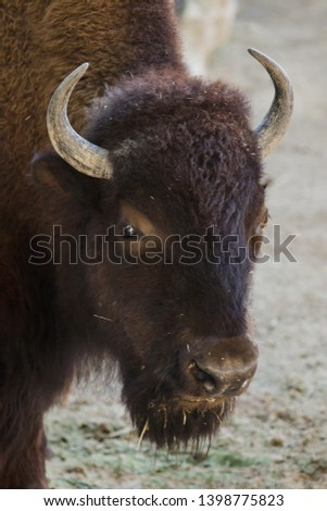 Plains bison, also known as the prarie bison.