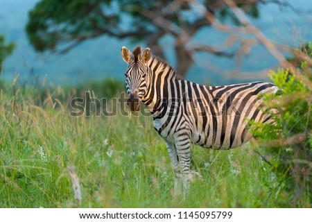 Plains zebra, also known as the common zebra or Burchell's zebra, (Equus quagga, formerly Equus burchellii). KwaZulu Natal. South Africa