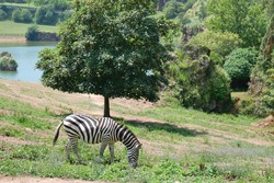 Plains zebra, Equus quagga, eating grass in Cabarceno Natural Park