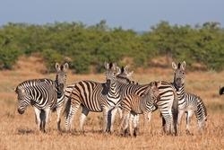 Plains zebra, Equus quagga, Equus burchellii, Kruger national park, South Africa