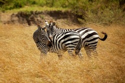 Plains Zebra - Equus quagga formerly Equus burchellii, also common zebra, most common and widespread species of zebra, black and white stripes in savannah, pair in love.
