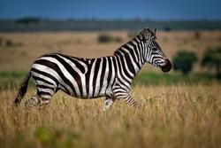 Plains Zebra - Equus quagga formerly Equus burchellii, also common zebra, most common and widespread species of zebra, black and white stripes in savannah,