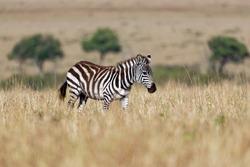 Plains Zebra - Equus quagga formerly Equus burchellii, also common zebra, most common and widespread species of zebra, black and white stripes in savannah.