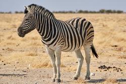 Plains zebra (Equus quagga) or Burchell's zebra (Equus quagga burchelli) at Etosha national park, Namibia.