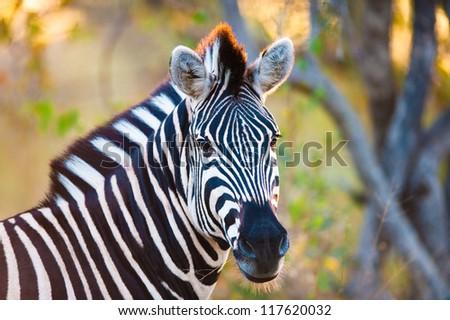 Plains zebra (Equus quagga) walking, South Africa
