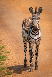 Plains zebra foal, equus quagga, equus burchellii, common zebra standing on the road, Lake Mburo National Park, Uganda.