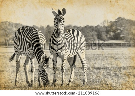 Plains zebra in retro style - black and white photo with African animals. Two striped zebra  in the African savanna on vintage paper.