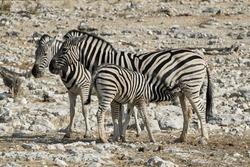 Plains Zebra or Burchell's Zebra (Equus quagga), female adult with suckling foal nursing at Etosha wildlife reserve, Namibia.