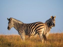 Plains zebra or common zebra (Equus quagga, formerly Equus burchellii). Eastern Cape. South Africa