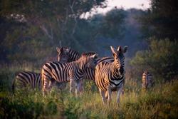 Plains zebra or common zebra (Equus quagga, formerly Equus burchellii). Madikwe Game Reserve. North West Province. South Africa
