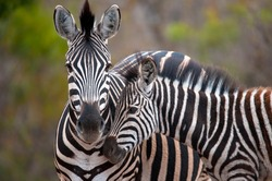 Plains Zebra photographed in South Africa