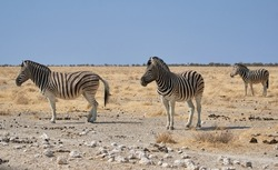 Plains zebras at Etosha national park, Namibia. Wild African safari animals in the Savanna. Equus quagga.