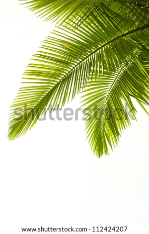 Plam leaves isolated on the white background