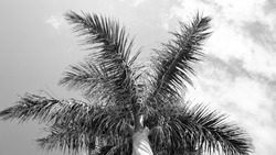 plam photographed from below in black and white summer style
