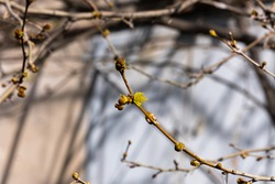 plane tree bud and branches, burgeon,