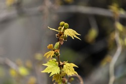 plane tree bud and branches, burgeon, small leaves,