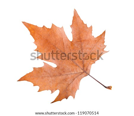 plane tree leaf isolated on white