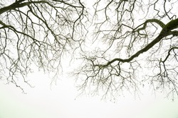 plane trees branches in the winter for background