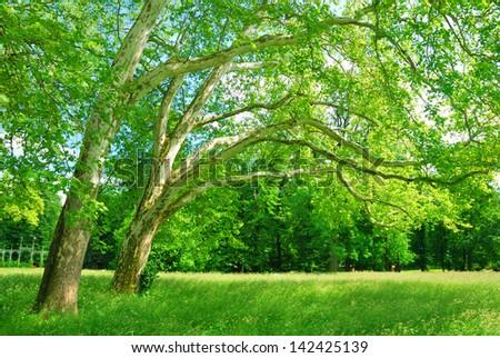 Plane trees grove in springtime