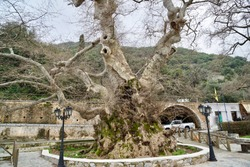 Plane Trees of Krasi, Crete, Greece, the oldest tree with a perimeter of 24 meters is supposed to be 2400 years old spending shade during the hot summer days