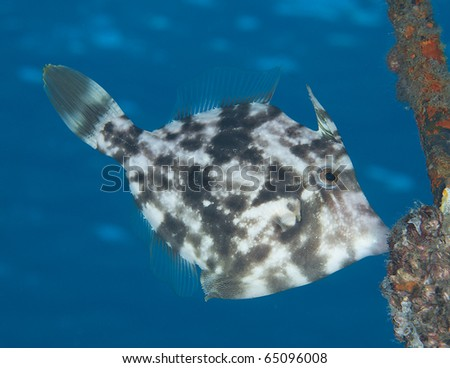 Planehead Filefish-Stephanolepis hispidus, picture taken in Palm Beach County Florida.