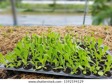 Plant a vegetable garden. Organic vegetable salad seedlings that farmers are preparing to plant in the field. The process of growing vegetables will dig the soil and become a strong seedling to plant