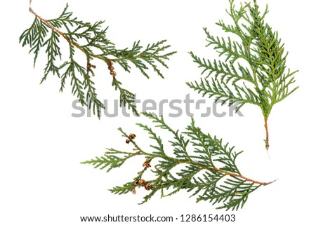 Plant branches on a white background. Thuja, branches in the background. #1286154403