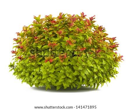 Plant bush isolated. Spiraea #141471895
