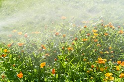 Plant care, home gardening. Watering marigold flowers with hose in backyard in summer. It is raining, drizzling, and drops of water fall on flower bed