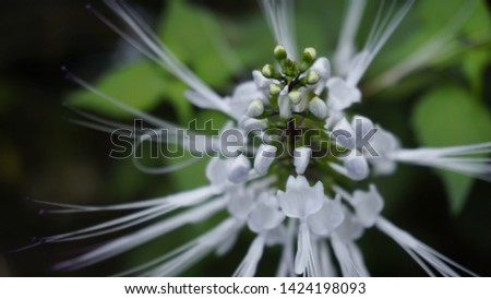 plant cat whiskers/cat whiskers flower #1424198093