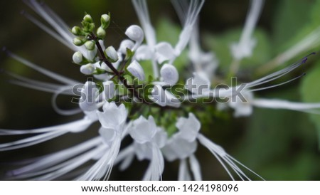plant cat whiskers/cat whiskers flower #1424198096