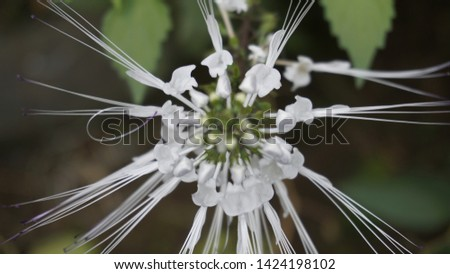 plant cat whiskers/cat whiskers flower #1424198102